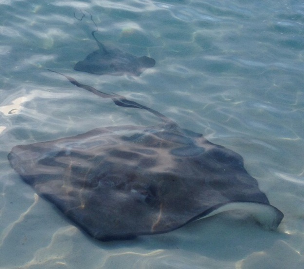 Sting Rays off Volley Ball Beach, George Town, Exumas, Bahamas