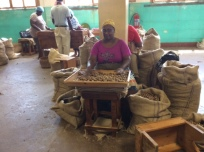 Workers Hand Grade Nutmeg (Remove Residual Defectives) and Run through Metal Graders (for size)