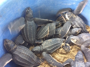 Baby Leatherback Turtles