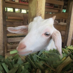 Horizontal Pupils Goat Dairy Farm