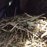 Raw suger cane