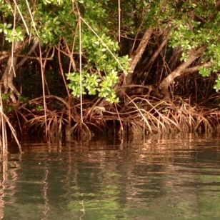 Mangroves Shores of Marigot Bay, St. Lucia