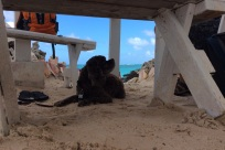 Patton relaxing in the sand at Cow Wreck Beach, Anegada, BVI