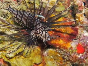Lion Fish, Dive St. Lucia photo