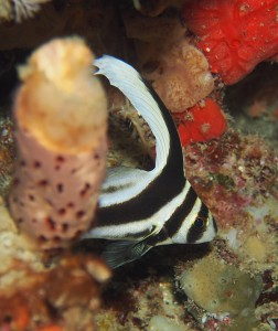 Zebra striped fish, open water dive, St. Lucia