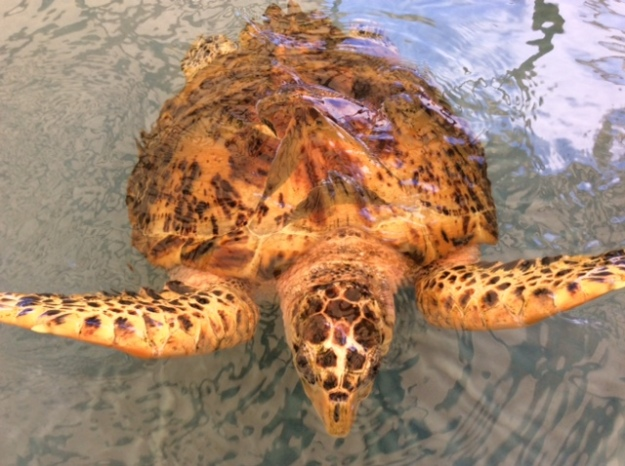 HawksbillTurtle, Turtle Sanctuary, Bequia