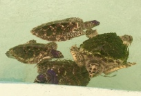 Baby Hawksbill turtles in Bequia