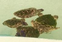 Baby Hawksbill turtles in Bequia