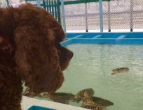 Patton watching the Hawksbill turtles in Bequia