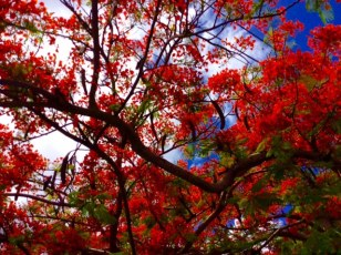 Colorful flora, Bequia
