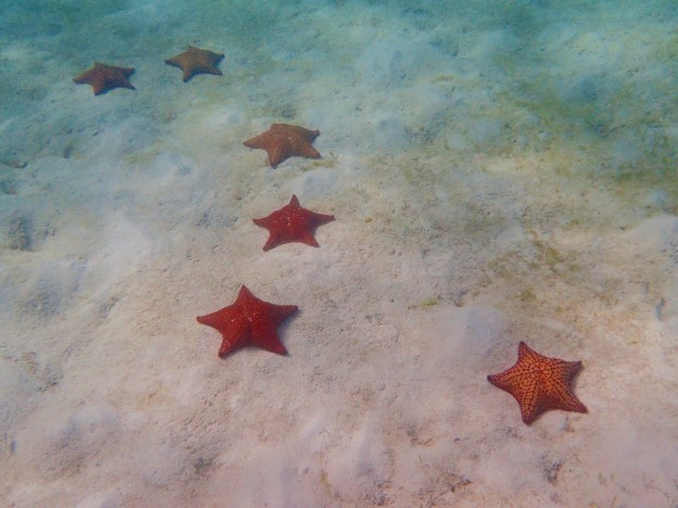 Cushion Starfish, just off Baradol Island, Tobago Cays