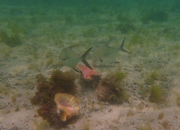 Palometa & Conch just off Baradol Island, Tobago Cays