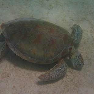 Green Turtle, Baradol Island, Tobago Cays Marine Park