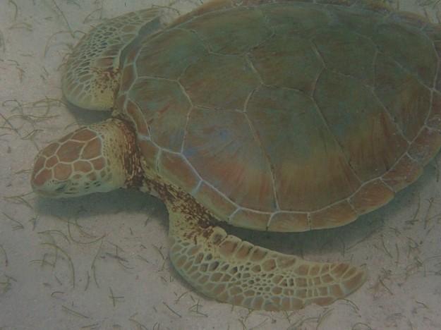 Green Turtle, Baradol Island, Tobago Cays