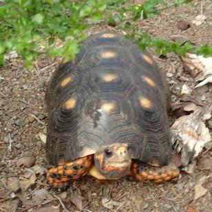 Tortoise, were plentiful and freely roamed Baradal Island, Tobago Cays