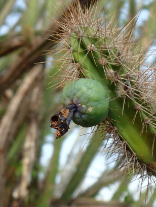 The birds were eating the fruit off the cacti, Baradal Island, Tobago Cays