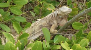 Iguanas also roamed freely in, Baradal Island, Tobago Cays Marine Park