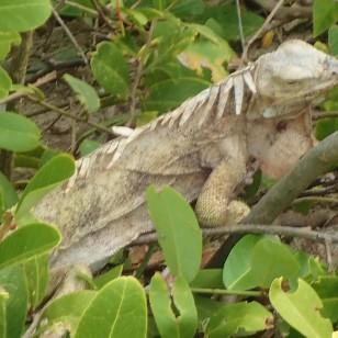 Iguanas also roamed freely in, Baradal Island, Tobago Cays Marine Park