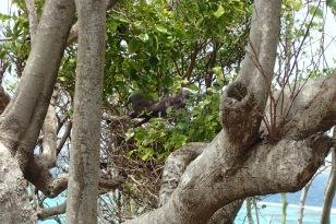 Nesting Birds, Baradal Island, Tobago Cays Marine Park