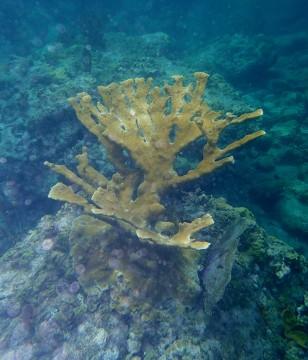 Elkhorn coral, Admiralty Bay, Bequia