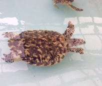 Baby Hawksbill Turtle at the Old Hegg Turtle Sanctuary, Bequia