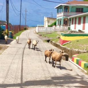 Goats roaming free on Petite Martinique, Grenada