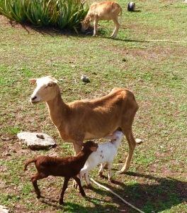 Goats in Petite Martinique