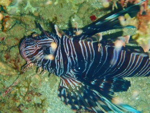 Lion fish, Flamingo Bay, Grenada