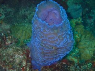 Blue coral, Flamingo Bay, Grenada