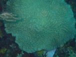 Brain coral, Flamingo Bay, Grenada