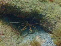 Sea Spider, Underwater Sculpture Park, Molinere Bay, Grenada
