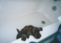 Puppy Patton gettng a bath