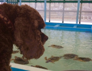 Patton at the Hawksbill turtle sanctuary, Bequia