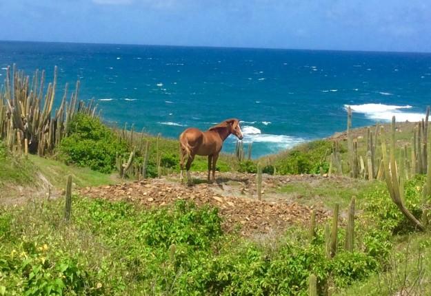 Lone horse & the sea on the northeast coast of St. Lucia hike