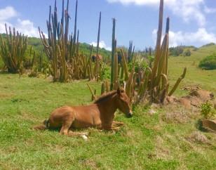 Calf & the cacti on the sea on the northeast coast of St. Lucia hike