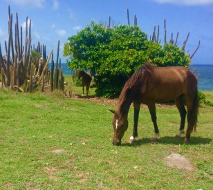 Calf in the shade with the sea on the northeast coast of St. Lucia hike