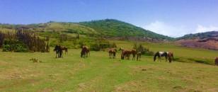 Horses on the northeast coast of St. Lucia hike