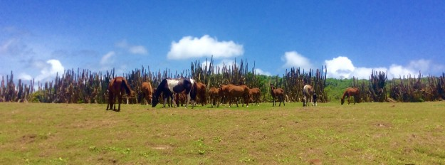 Horses on the northeast coast of St. Lucia hike