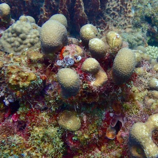 Coral, diving in St. Lucia