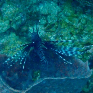 Lion fish, St. Lucia
