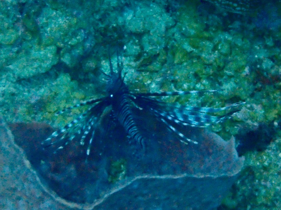 Lion fish, St. Lucia