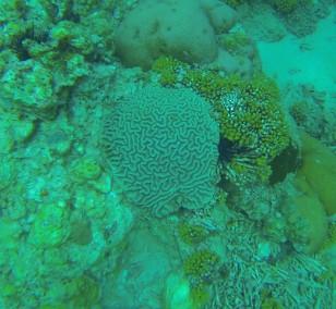 Brain coral, St. Lucia