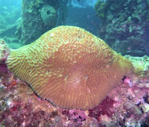 Brain Coral - Lesleen M Wreck in St. Lucia (Jan. 2018)