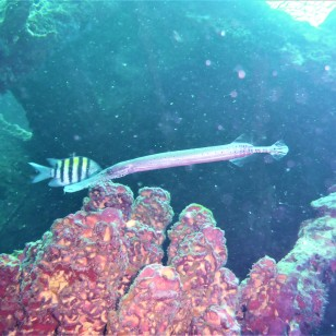 Needle nose fish- Lesleen M Wreck in St. Lucia (Jan. 2018))