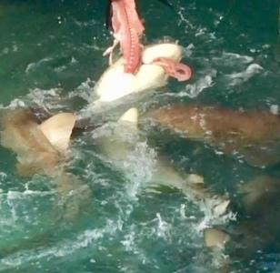 Sharks feeding on Tuna at Flying Fish Marina, Long Island, Bahamas