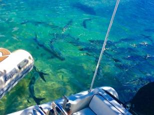 School of Tarpon behind our dinghy, Culebra Puerto Rico