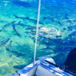 School of Tarpon behind our dinghy, Culebra Puerto Rico