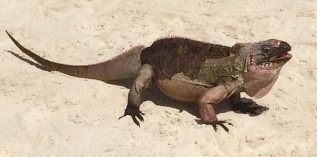 Iguana, Allen Cay, Bahamas (2018)