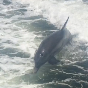 Dolphin in our wake